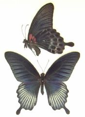 Papilio lowi - ASIAN SWALLOWTAIL