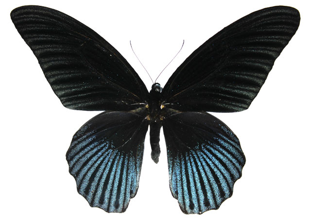 Papilio memnon GREAT MORMON