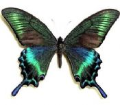 Papilio maackii (Spring Form)