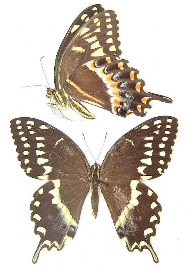 Papilio palamedes palamedes