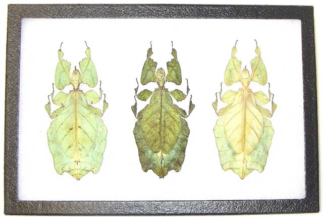 The Moving Leaf Trio of Color Patterns