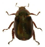 Chrysina calcothea