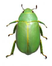 Chrysina chrysopedila