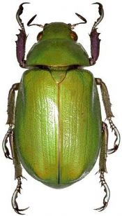 Chrysina beyeri - APPLE GREEN SCARAB