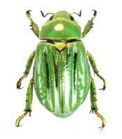 THE GLORIOUS SCARAB (Chrysina gloriosa)