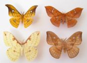 Saturnid Moth Mix of 4 (Spread as shown)