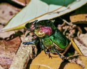 Phanaeus vindex (minor)