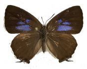 Thecla/hairstreak