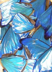 20 Neon Blue Morpho wings for Art Projects