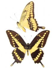 Papilio cresphontes FEMALE- THE GIANT SWALLOWTAIL