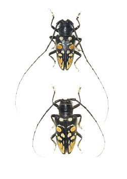 Cerambycidae / Longhorn Beetle Collection