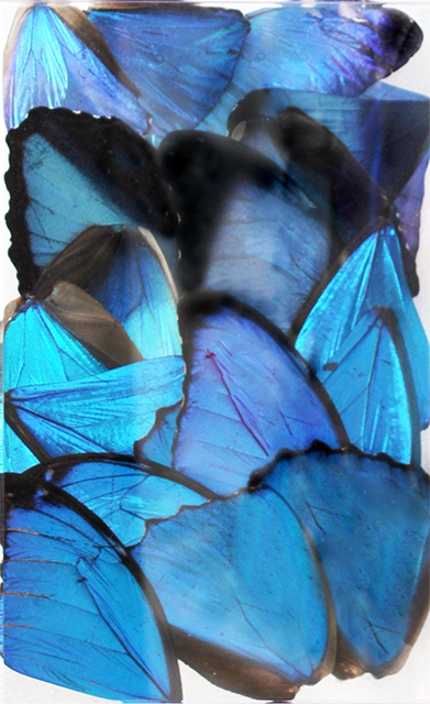 20 Mixed Morpho Butterfly Wings (2nd Quality)