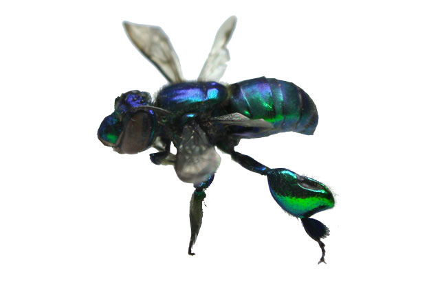 Euglossini sp Orchid Bee Wasp (Peru)