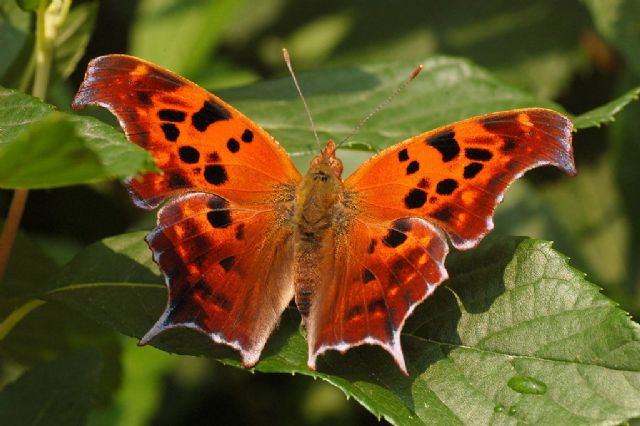 Polygonia interrogationis - QUESTION MARK